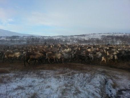 les rennes sont comme les moutons, ils tournent en rond dans l'enclos / reindeer run around in a circle like sheep do