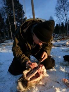 dépeçage des têtes de rennes / skinning reindeer heads