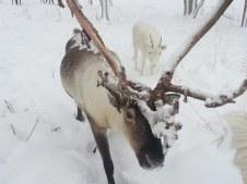 Les males castrés ont toujours le velours sur leurs bois / castrated males still have the velvet on their antlers