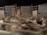 Dans un petit enclos, c'est un peu la pagaille pour séparer les rennes par propriétaires / in the small corral, it can be a bit of a mess to try and seperate the reindeer by owner