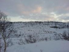 Les rennes dans les montagnes en haut de Sundsfjord